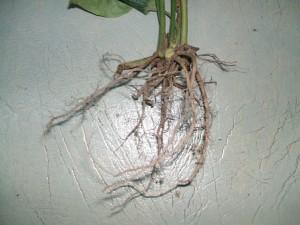 Chữa sâu răng bằng rễ cây lá lốt