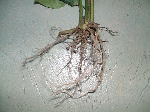 """""""Mẹo hay"""" rễ cây lá lốt chữa đau răng vô cùng hiệu quả 2"""